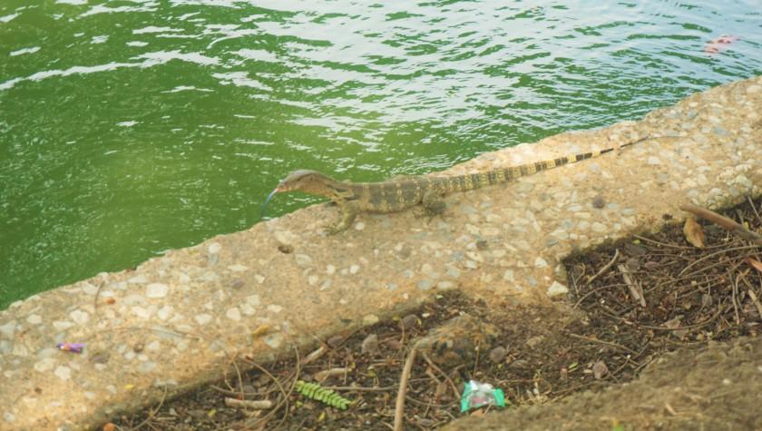 monitor lizard2.jpg